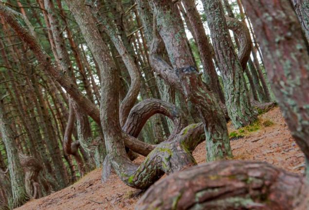 جنگل رقصان کالیننگراد روسیه