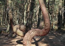 جنگل رقصان کالیننگراد روسیه  Coronian Spit forest