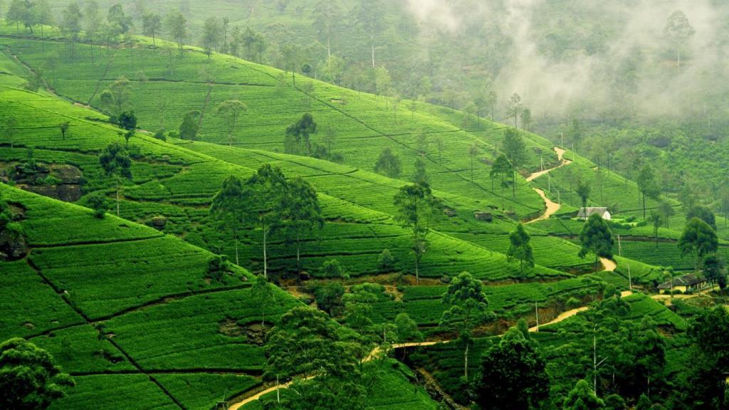 باغات چای کندی