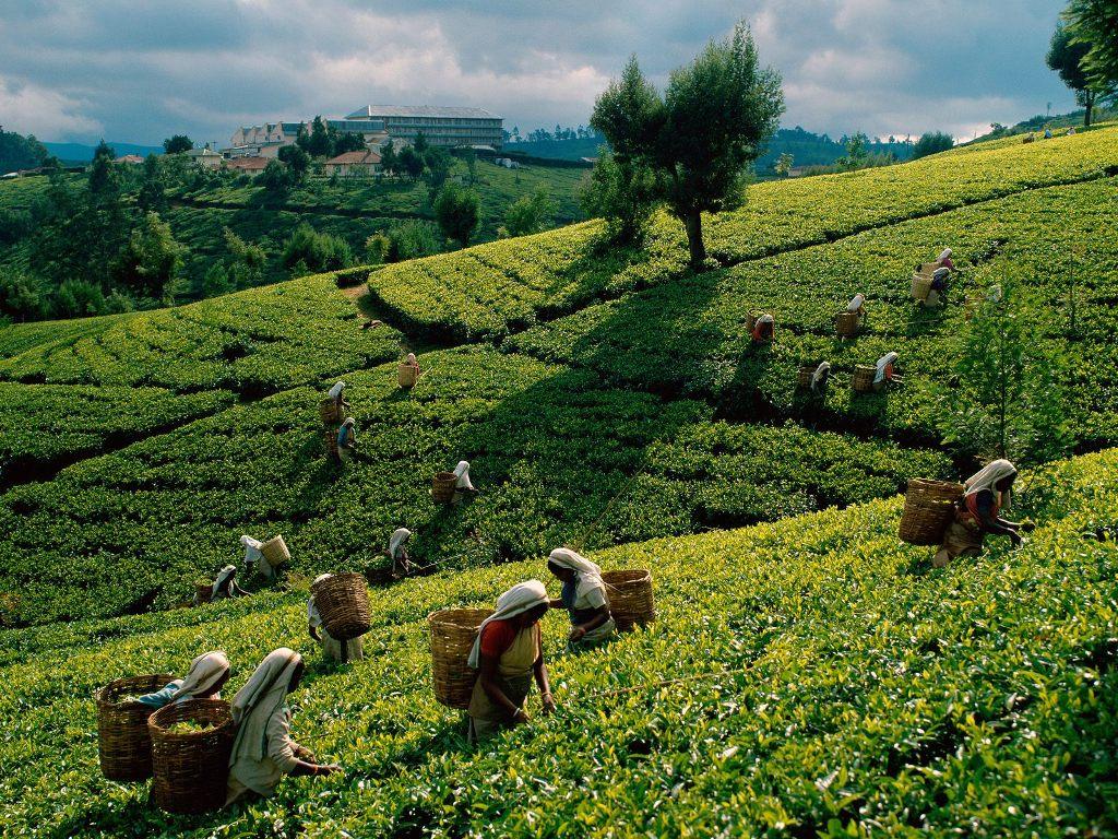 باغات چای کندی سریلانکا
