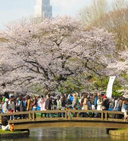 جشن شکوفه های ژاپن