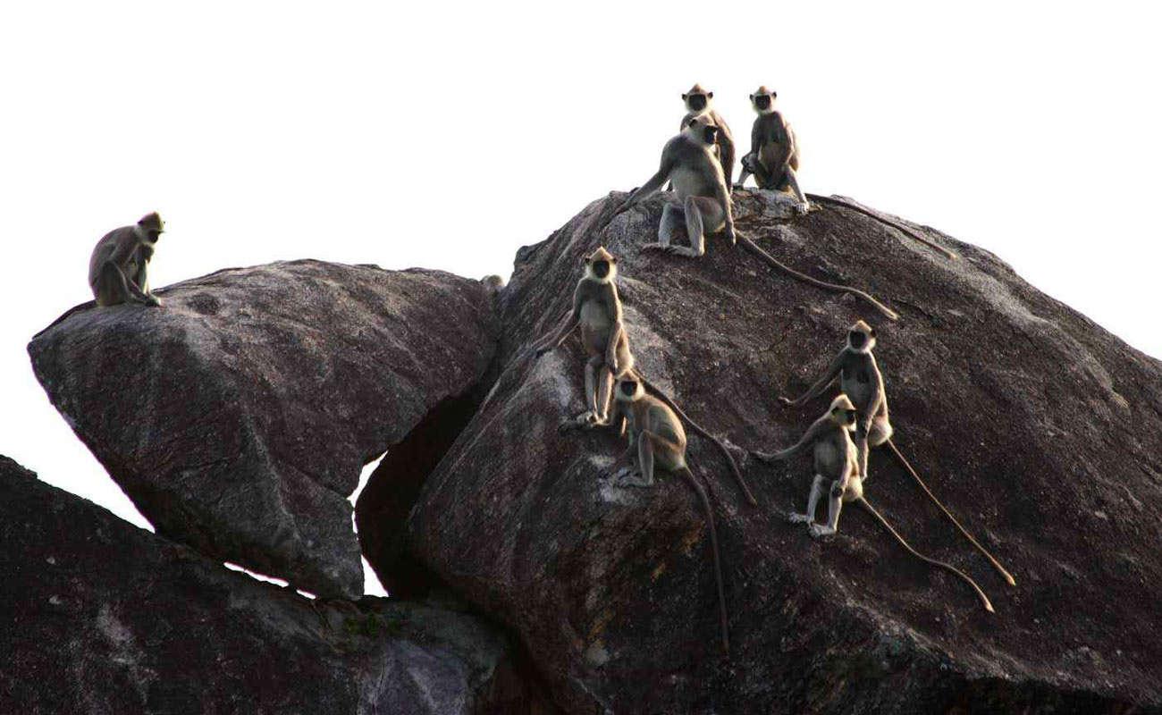 Yala-National-Park-Monkey