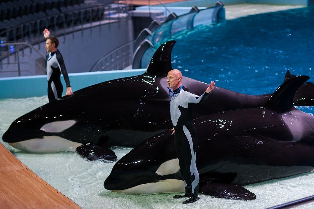 نهنگ قاتل در دلفیناریوم مسکو