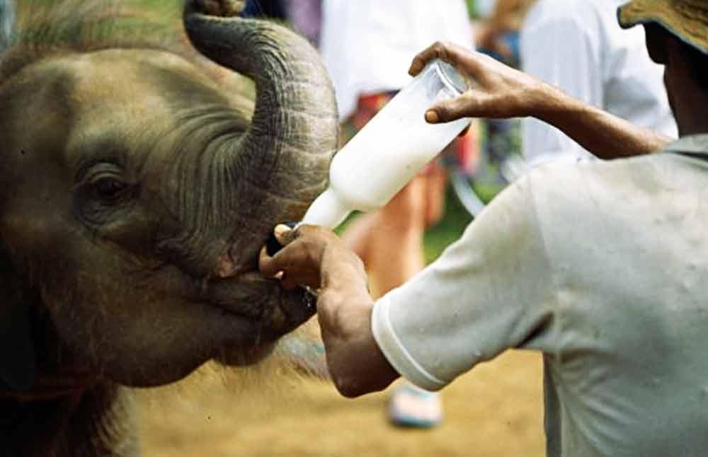 غذا دادن به فیل های پیناوالا