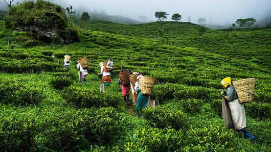 باغات چای سیلان در سریلانکا
